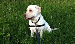 Gracie sitting among flowers (walneylad) Tags: dog pet cute puppy spring gracie lab labrador may canine labradorretriever