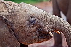 David Sheldrick Elephant Orphanage 14 (Grete Howard) Tags: safariinafrica safari whichsafaricompany bestsafaricompany calabashadventures travel holiday africa kenya elephants davidsheldrickwildlifetrust elephantorphanage wildelife animals nairobi