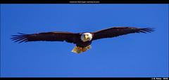 American Bald Eagle watching its prey (episa) Tags: ca camera canada britishcolumbia vancouverisland porthardy goldeneagle americanbaldeagle nikond810 may2016 nikonafs200500mmf56eedvr