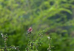 Linotte mlodieuse (JeanJoachim) Tags: bird pssaro aves fugl oiseau vogel uccello ptak fgel lintu fringillidae passeriformes  commonlinnet linottemlodieuse hemppo  smcpentaxda300mmf4edifsdm domainedesoiseauxdemazres pentaxk5iis linariacannabina
