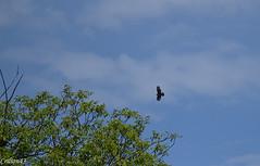 Buse variable. (Crilion43) Tags: france nature canon divers centre ciel arbres cher nuages paysage oiseaux bleue msange rapace rflex buse charbonnire epervier