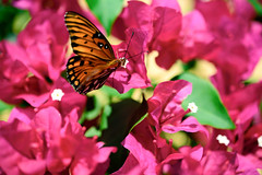 Gulf Fritillary in the Bougainvillea (Emily Kistler) Tags: clearwater florida flowers outdoors butterfly insect animal gulffritillary bougainvillea pink orange nikon d750 usa america unitedstates bokeh nature plants