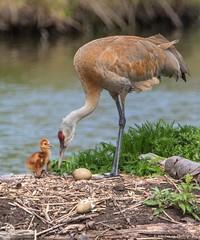 Baby Sandhill crane with dad (wmckenziephotography) Tags: sandhillcranes babybirds reifelbirdsanctuary babysandhillcrane birdsbc