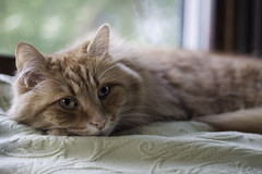 Clem Thursday: Sleepy Boy Face (Photo Amy) Tags: red orange pet cute cat fur ginger furry kitten feline tabby longhair adorable fluffy whiskers precious whisker cuddly cuteness longhaired aminal ef50mm18 eartufts toefur canon50d