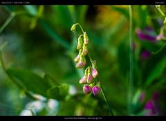 everlasting pea (netozeme) Tags: summer sun flower yellow bokeh