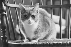 Old-Fashioned Cat (Victoria T Hunt) Tags: mackerel chair tabby indoor rush