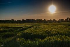 Abenddmmerung Getreidefeld (stein.anthony) Tags: longexposure green nature landscape sonnenuntergang sundown natur feld wiese gras grn landschaft sonne nachtaufnahme langzeitbelichtung blauestunde