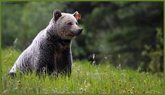 Grizzly164_6D_0820 (CrzyCnuk) Tags: canada canon wildlife alberta grizzly grizzlybear canon6d