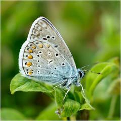 icarusblauwtje ..... (atsjebosma) Tags: spring bokeh ngc may thenetherlands groningen lente vlinder lauwersoog polyommatusicarus voorjaar icarusblauwtje atsjebosma coth5 mei2016