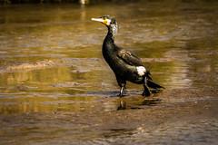 In a hurry... (malc1702) Tags: cormorant birds largebirds migration migratorybirds running nikond7100 tamron150600 outdoor wildlife nature