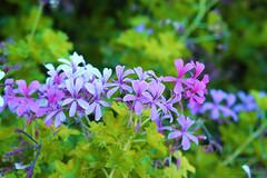 IMG_9868 (nelson_tamayo59) Tags: flores plantas jardin canarias tenerife