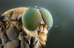 Snipe Fly (Kutub Uddin...) Tags: macro shot he