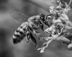 Bee_SAF0042-2 (sara97) Tags: blackandwhite flower nature insect outdoors blackwhite w bee missouri endangered saintlouis towergrovepark flyinginsect urbanpark pollinator photobysaraannefinke copyright2016saraannefinke