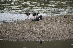 Austernfischer am River Lyon (a-r-a-55) Tags: birds animals scotland tiere schottland glenlyon austernfischer grosbritannien