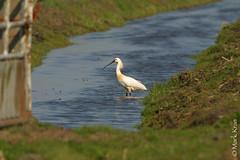 Mark Kras-Lepelaar-IMG_5828.jpg (markkras-fotografie) Tags: birds animals fauna nederland vogels aves nl dieren lepelaar platalealeucorodia eurasianspoonbill