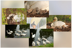 Little ones grow up... (H. Bos) Tags: nature animal swan natuur swans lente dier springtime almere zwaan zwanen