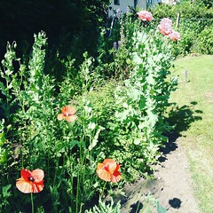 """In my father's garden: filled and un-filled poppies. • <a style=""""font-size:0.8em;"""" href=""""http://www.flickr.com/photos/87248480@N00/27445201206/"""" target=""""_blank"""">View on Flickr</a>"""