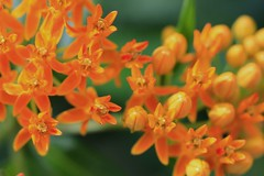 Butterfly Weed (Asclepias tuberosa) (In The Mind Of Nature (Plantae)) Tags: flowers plant nature minnesota petals foliage indianpaintbrush butterflyweed orangemilkweed asclepiastuberosa minneapolisminnesota pleurisyroot silkyswallowwort butterflylove orangeroot perennialplant butterflymilkweed indianposy canadaroot chiggerflower minnesotawildflowers fluxroot orangeswallowwort tuberroot yellowmilkweed whiteroot windroot chiegerflower inthemindofnature northamericannativeplantspecies