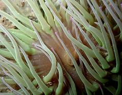 shy snakelocks (richie rocket) Tags: dorset glug tango underwater snakelocksanemone durdledoor