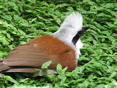 The white-crested laughingthrush (Garrulax leucolophus) (Mel's Looking Glass) Tags: bird himalayan the laughingthrush garrulax whitecrested leucolophus