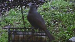 Blurry Titmouse (blazer8696) Tags: 2016 brookfield ct connecticut ecw obtusehill t2016 usa unitedstates baeolophus bicolor paridae passeriformes sunp0625 titmouse tufted