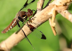 common whitetail female (laurie_frisch) Tags: park female state dragonfly iowa common kepler whitetail palisades