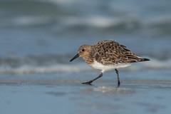 Sanderling (PeterBrannon) Tags: ocean beach surf feeding florida desoto sanderling shorebird breedingplumage calidrisalba smallwhiteshorebird