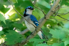 Majestic Blue Jay (Explored) (soupie1441) Tags: london ontario canada nikon d7200 blue jay wild life wildlife nature green perched 70300 mm nikkor