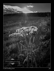Cow Parsley Sun (jeremy willcocks) Tags: uk blackandwhite sun field grass landscape mono sunny devon cowparsley sunstar southhams jeremywillcocks fujix100t wwwsouthwestscenesmeuk
