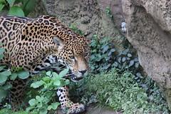 Jaguar (kylennadine) Tags: cats nature saint animal animals cat photography zoo louis big feline wildlife felines jaguar zoos jaguars