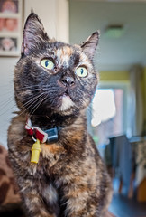 Smudge (June 2016) (1) Fuji X70 Compact) (1 of 1) (markdbaynham) Tags: pet cute animal cat prime feline fuji 28mm smudge fujinon f28 compact x70 apsc fujix 16mp transx