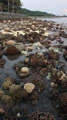 Mass coral bleaching at Kusu Island, 7 Jul 2016 (wildsingapore) Tags: nature landscape island marine singapore underwater wildlife coastal threats intertidal seashore kusu bleaching marinelife cnidaria wildsingapore scleractinia
