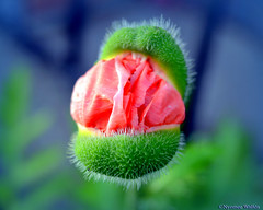 Please, Don't Eat With Your Mouth Open. (nyomee wallen) Tags: teeth poppy summerflower flowerbud sexyflower pleasedonteatwithyourmouthopen mouthopenisrude