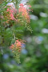 Grevillea (myu-myu) Tags: plant flower tree japan nikon mygarden  grevillea d800