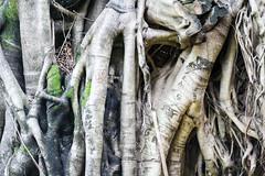 Tronco de um Fcus (Johnny Photofucker) Tags: tree ficus albero tronco rvore lightroom parquemunicipal