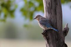 Blue Bird in Gran Teton NP (Alex E. Proimos) Tags: park blue bird grand national teton