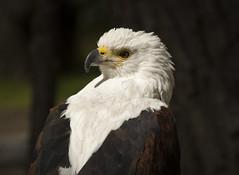 guila (seguicollar) Tags: virginiasegu pjaro guila rapaz ave nikond5200 zoo madrid airelibre cabeza blanco pico fauna