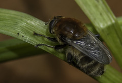 Solitary Bee (poss. Tawny Mining Bee) (IAN GARDNER PHOTOGRAPHY) Tags: bee insect solitarybee hymenoptera tawnyminingbee andrenafulva nature allnaturesparadise