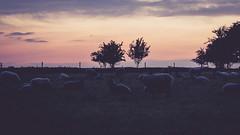 Twilight sheep (chokladio) Tags: light sunset lund sheep xt1 rinnebcksravinen