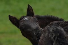 DSC_4653 (d90-fan) Tags: animals outdoors austria tiere sterreich natur pferde schnecke rauris fohlen hohetauern tauern krumltal murmeltiere raurisertal
