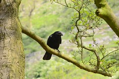 (Sam Tait) Tags: derbyshire dales peak district england crow tree corvid carrion