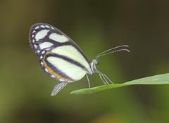 A mimic-white, Moshoneura pinthous, Pieridae, Moyobama, San Martin, Peru 6/9/16 (abcdefgewing) Tags: lepidoptera mimicry pieridae