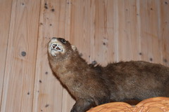 Mink (Dick Dangerous) Tags: iceland west mink stuffed