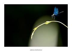 La danseuse... (bertholino fabrice) Tags: macro nature libellule proxy environnement odonate macrophotographie biodiversit nikond600 capturenx2 libelluleenvol photodenature objectifmacro calopteryxeclatant sigma150macrooshsm fabricebertholino