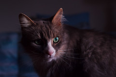 Dramatic Rollo (samuelwilton) Tags: pet cute eye animal cat fun furry kitten pretty sweet adorable dramatic kitty whiskers aww storytime
