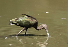 White-faced Ibis at the Arb! (C-O) Tags: june 24081 arboretum birds whitefaced ibis first nature arcadia ca