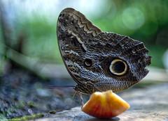 Bananenfalter (Caligo eurilochus) - Owl butterfly (Caligo eurilochus) (Polybert49) Tags: germany bayern deutschland bavaria oberbayern lepidoptera alemania allemagne hdr animalia arthropoda gemany germania duitsland caligo nymphenburg fused bundesrepublikdeutschland botanischergarten nymphalidae satyrinae germering jhp almanya caligoeurilochus niemcy federalrepublicofgermany  edelfalter bananenfalter augenfalter  alemanne landeshauptstadtmnchen sonyslta55v baviere nemecko  republiquefederaledallemagne germanujo heribertpohl nymphenburgpalacepark polybert contrastoptimized  aurorahdr aurorasoftware