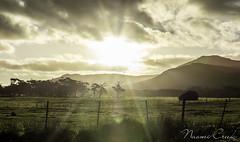 naomi160423-202-HDR (Naomi Creek) Tags: sun grass fence cattle cows farm farmland tasmania rays palana flindersisland