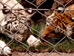 Tigers (Phil Guest) Tags: lasvegas nevada mirage secretgarden siegfriedroy