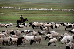 Blackhead sheep (MelindaChan ^..^) Tags: xingjiang china  sheep crossing river rider horse sheperd chanmelmel mel melinda melindachan chinese prairie grassland blackheadedsheep blackheadpersian ilikazakhautonomousprefecture